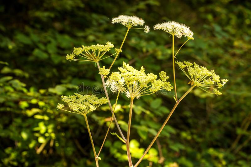 Angelica, medicinal herb with flower in summer stock photos