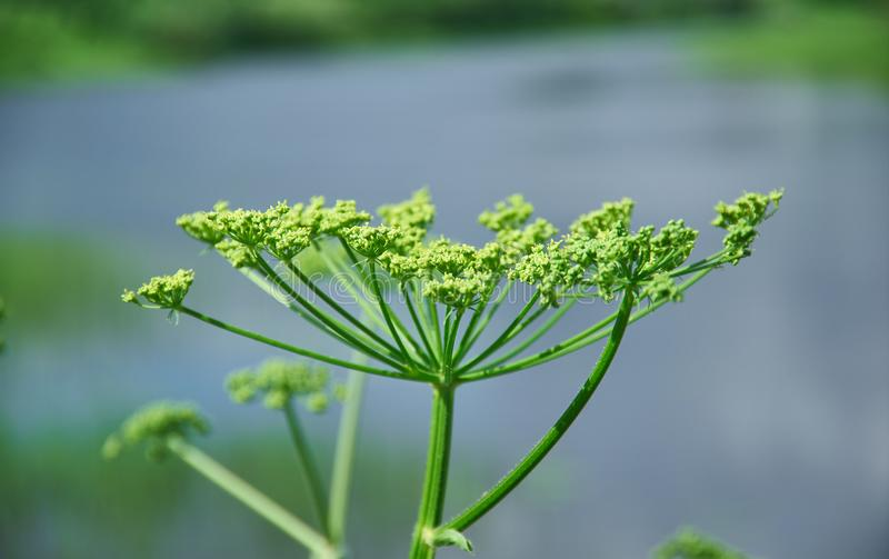 Angelica plan. Close-up . Shallow depth-of-field stock photos