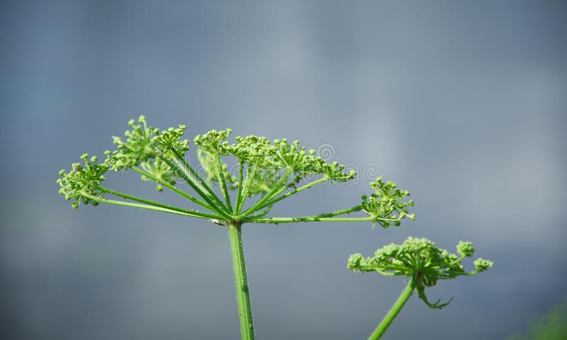 Angelica plan. Close-up . Shallow depth-of-field stock images