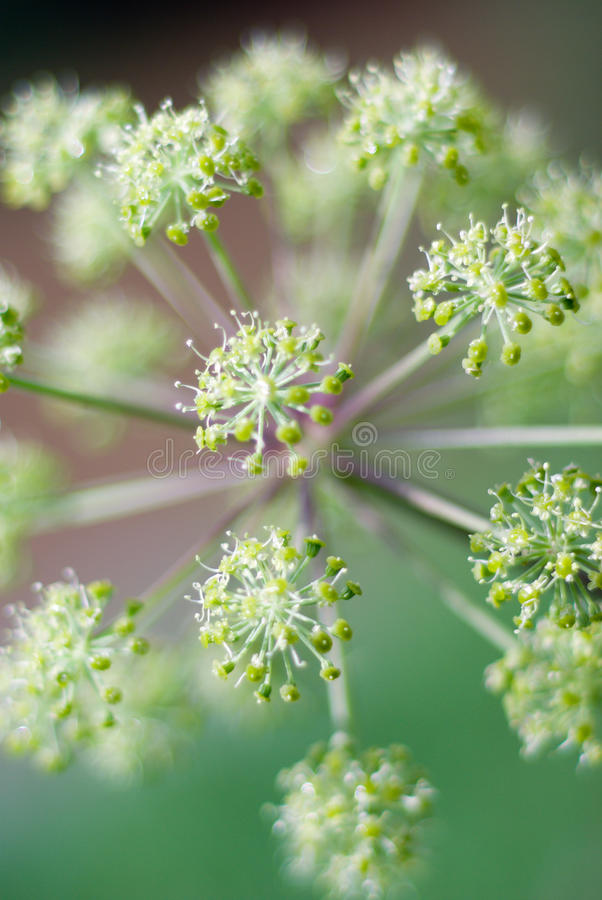 Angelica plan. Close-up. Angelica plan. Shallow depth-of-field stock photography