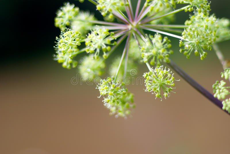 Angelica plan. Close-up . Shallow depth-of-field stock photography