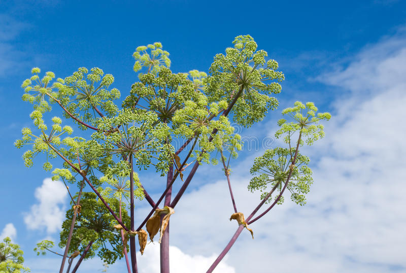 Angelica plan. Close-up. With blue sky and a plant stock image