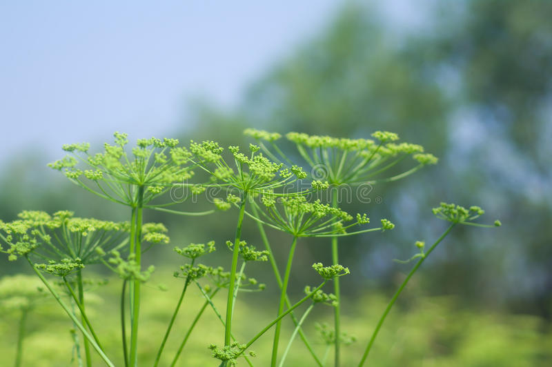 Angelica plan. Close-up. Shallow depth-of-field royalty free stock photos
