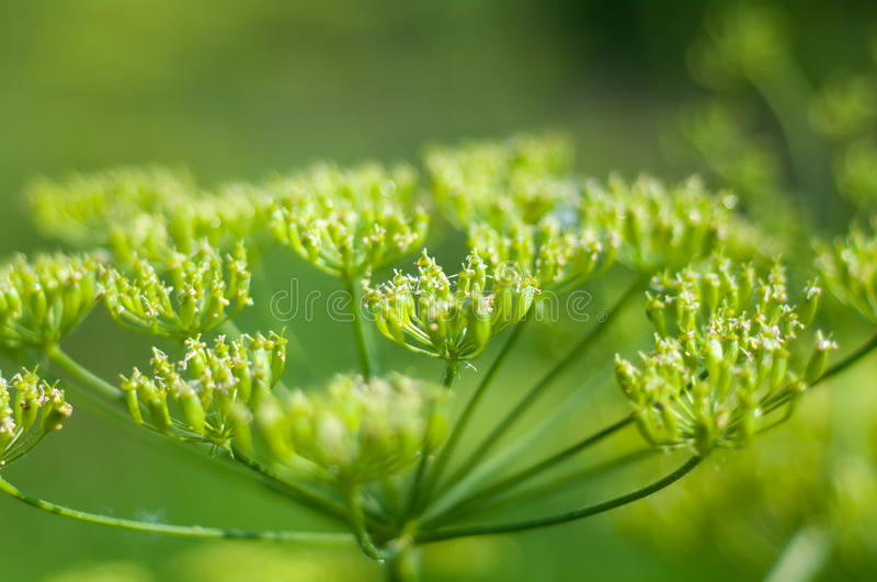 Angelica plan. Close-up. Shallow depth-of-field stock photos