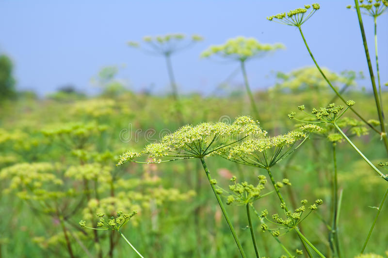 Angelica plan. Close-up. Shallow depth-of-field stock photography