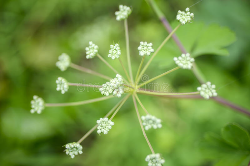 Angelica plan. Close-up . royalty free stock images