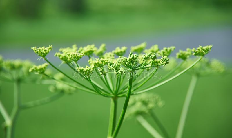 Angelica plan. Close-up . Shallow depth-of-field royalty free stock photography