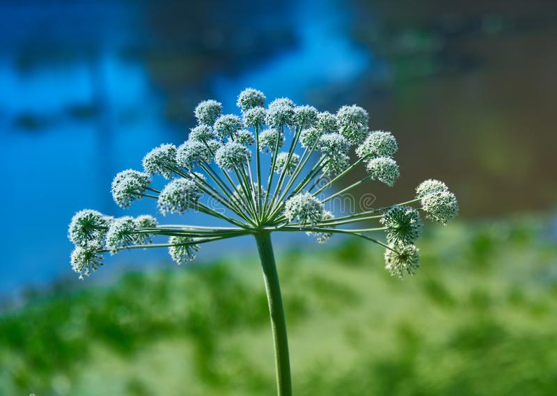Angelica plan, umbelliferae bloom. Angelica plan. Close-up . Shallow depth of field royalty free stock photos