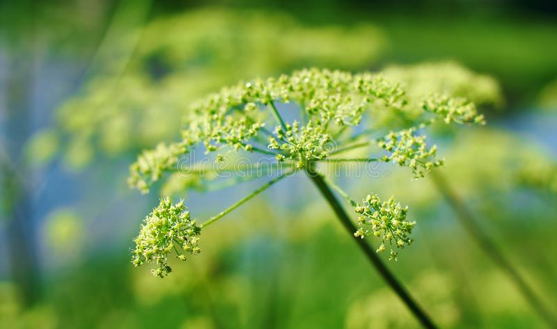 Angelica plan, umbelliferae bloom. Angelica plan. Close-up . Shallow depth of field royalty free stock photo