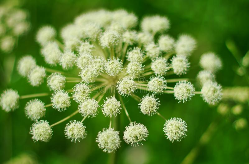 Angelica plan, umbelliferae bloom. Angelica plan. Close-up . Shallow depth of field royalty free stock image