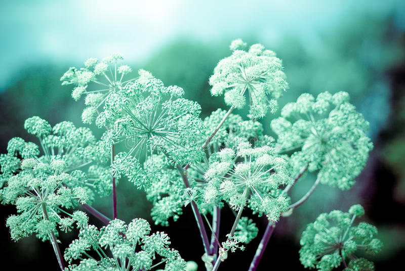 Angelica plan royalty free stock image
