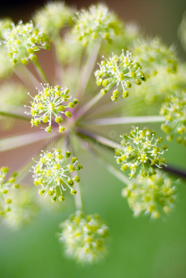 Angelica plan. Shallow depth-of-field. Angelica plan. Close-up .Shallow depth-of-field stock photography