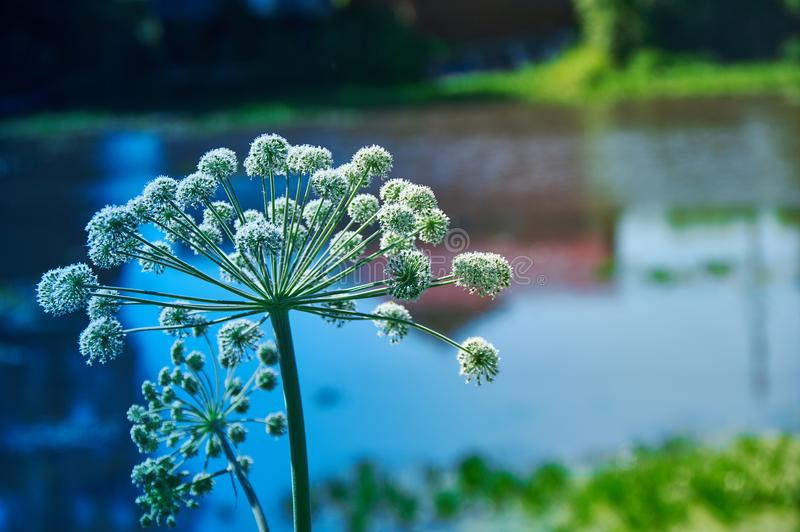 Angelica plan, umbelliferae bloom. Angelica plan. Close-up . Shallow depth of field royalty free stock photography