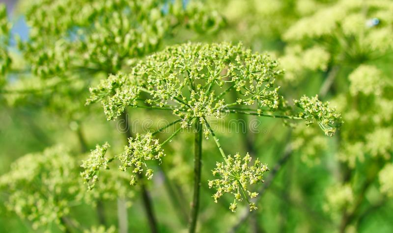 Angelica plan, umbelliferae bloom. Angelica plan. Close-up . Shallow depth of field stock photo