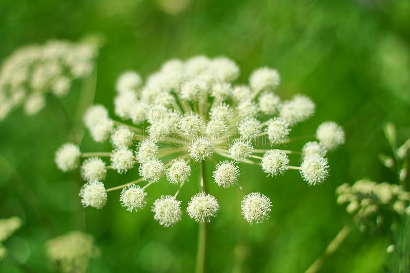 Angelica plan, umbelliferae bloom. Angelica plan. Close-up . Shallow depth of field royalty free stock images