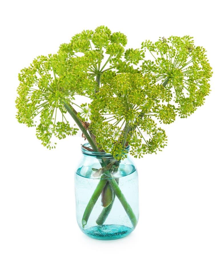 Angelica plant stock photo