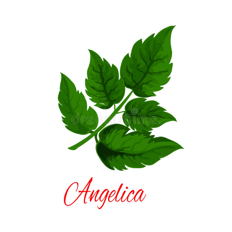 Angelica plant or wild celery green branch. Angelica plant branch with fresh green leaves. Garden angelica or wild celery twig for herbal medicines, natural stock illustration