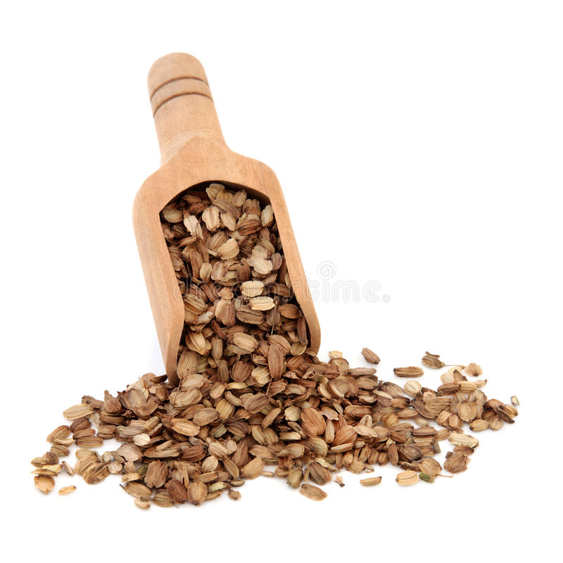 Angelica Seed royalty free stock photo