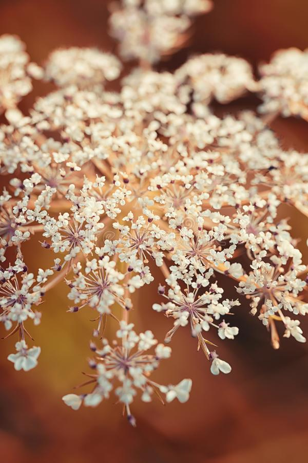 Angelica sylvestris in macro photography. Wild flower on the sunset field. Autumn natural botanic background royalty free stock image