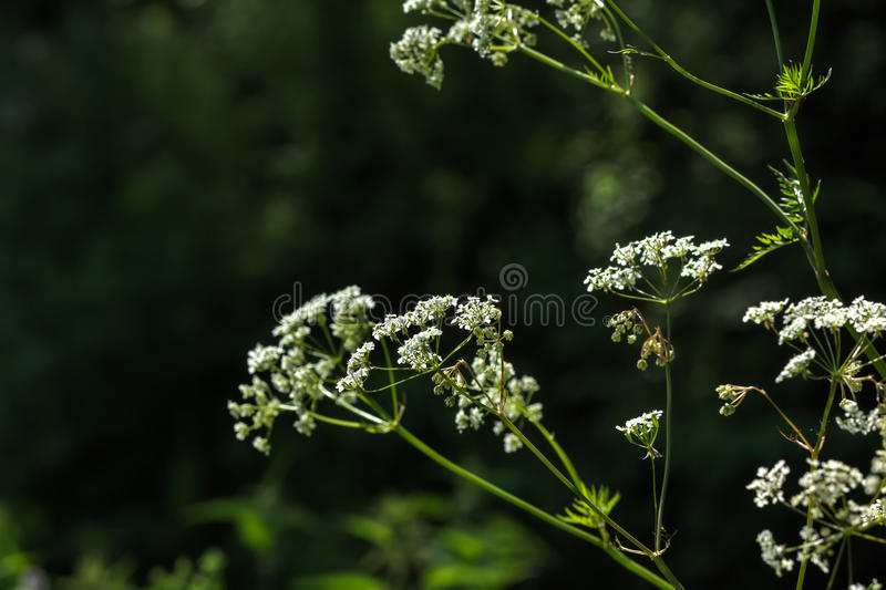 Angelica. Wild flower. Flower angelica growing on a summer meadow stock image