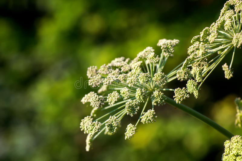 Angelica. Wild flower. Flower angelica growing on a summer meadow stock images