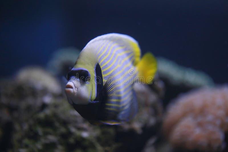 Angelo di mare dell'imperatore o pesce di pomacanthus imperator immagine stock
