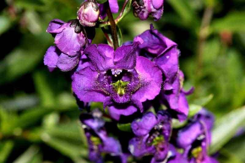 Angelonia angustifolia 'Carita Purple'. Cultivar with glossy green leaves and large purple flowers with white spotted throat and lighter lower lip stock images