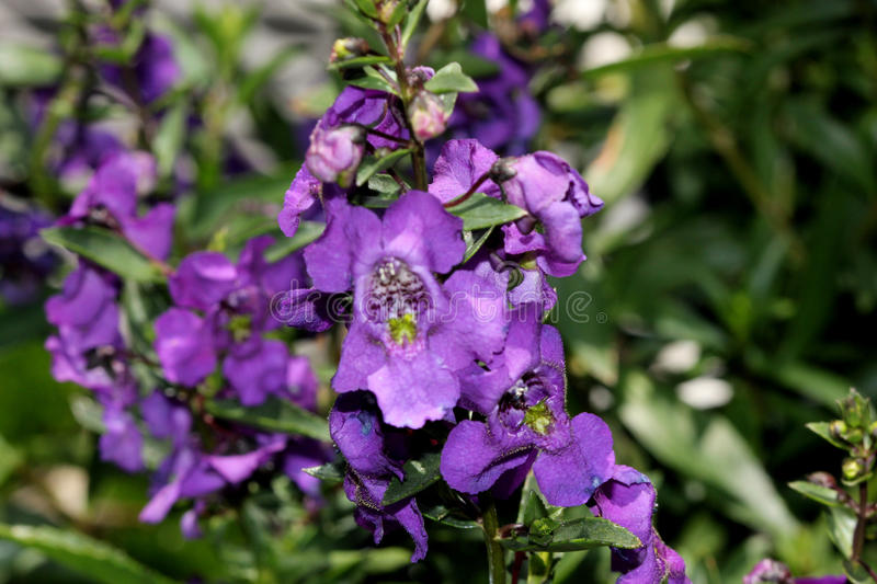 Angelonia angustifolia 'Carita Purple'. Cultivar with glossy green leaves and large purple flowers with white spotted throat and lighter lower lip royalty free stock images