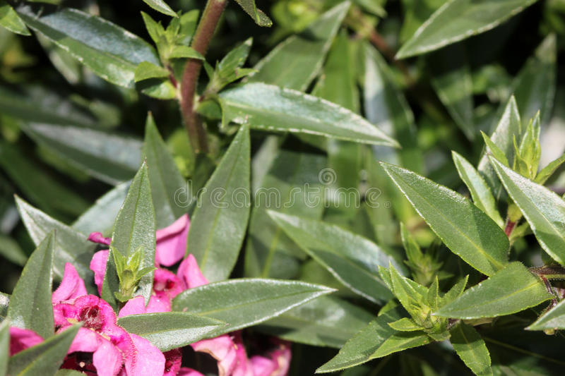 Angelonia angustifolia 'Carita Raspberry'. Angelonia angustifolia 'Carita Rasberry', cultivar with glossy green leaves and large flowers fuchsia-hot pink with a stock photo