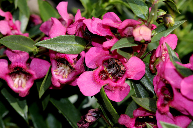 Angelonia angustifolia 'Carita Raspberry'. Angelonia angustifolia 'Carita Rasberry', cultivar with glossy green leaves and large flowers fuchsia-hot pink with a royalty free stock photos