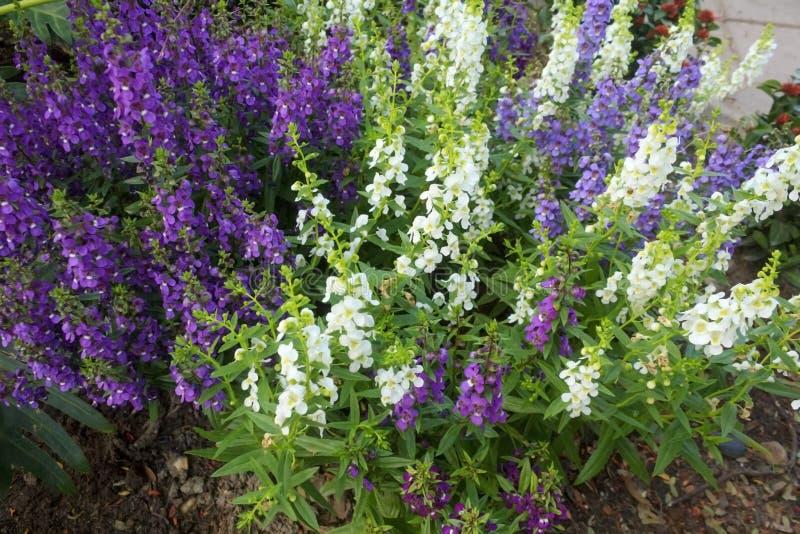Angelonia blomma royaltyfria bilder