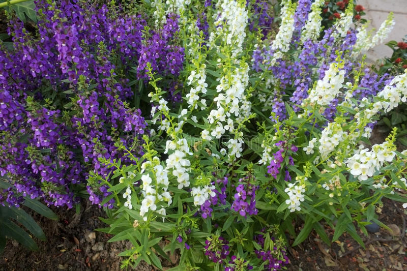 Angelonia flower royalty free stock images