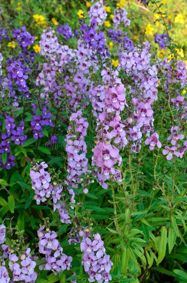 Free Angelonia Goyazensis Benth Flower Royalty Free Stock Photos - 29578048