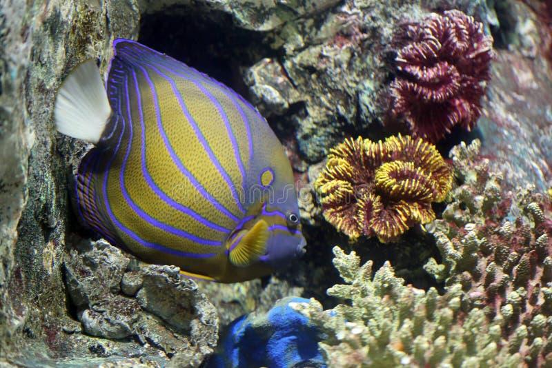Angelote colorido de Bluering en el filón de corales fotos de archivo