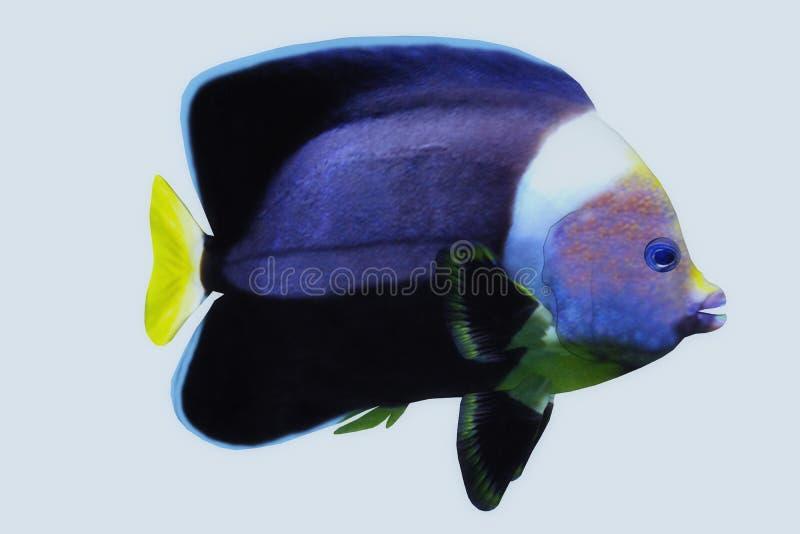 Angelote negro del terciopelo ilustración del vector