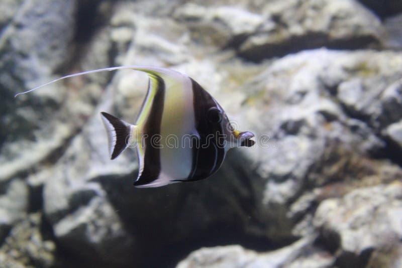 Angelote rayado de los pescados en el agua clara del acuario stock de ilustración