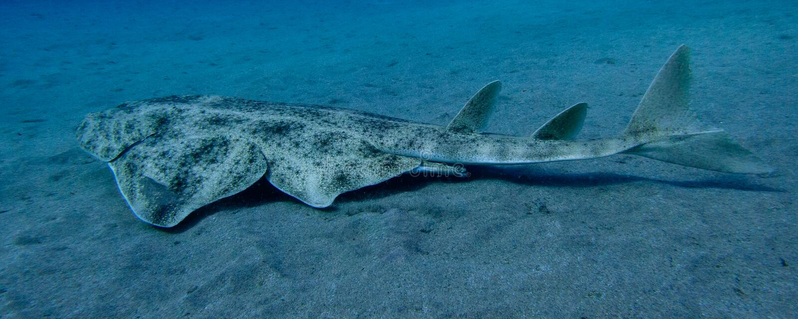 Angelshark over sand in blue ocean royalty free stock images
