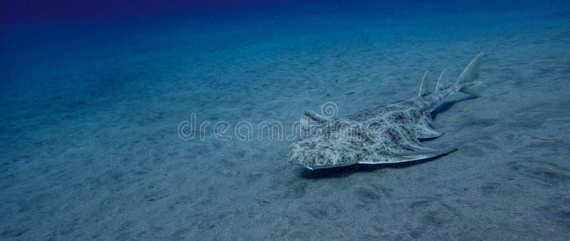 Angelshark over zand in blauwe oceaan royalty-vrije stock foto's