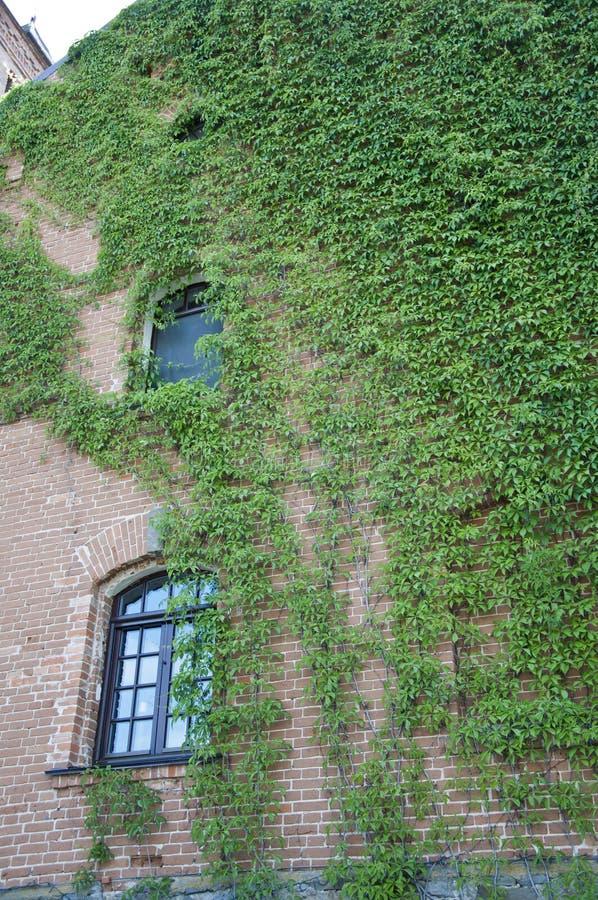 Löjlig kamouflage Grön vägg för vinodling Ett gammalt hus med gräsklippare eller klättrare Vinstockar som växer på stenvägg fotografering för bildbyråer
