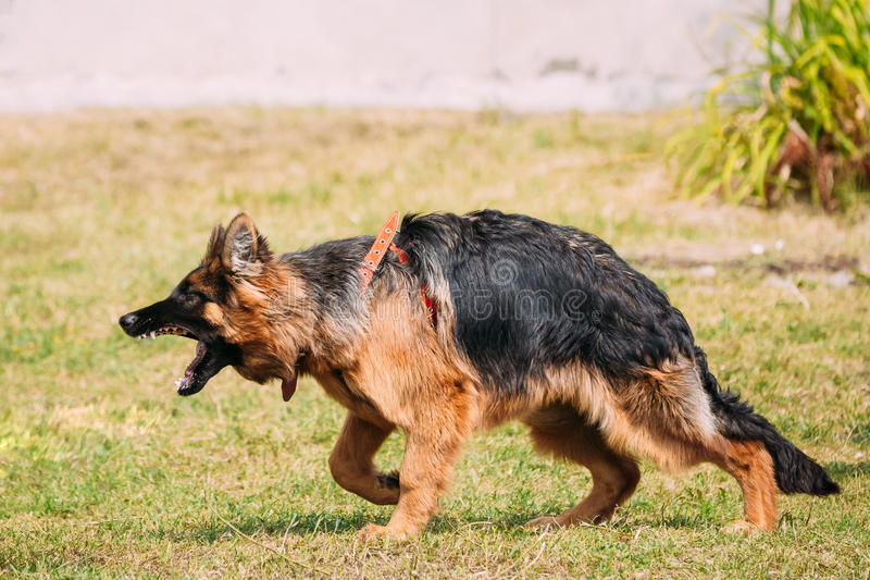 Anger Aggressive Long-Haired German Shepherd Adult Dog, Alsatian. Anger Aggressive Long-Haired Purebred German Shepherd Adult Dog Or Alsatian Wolf Dog On Lead stock image