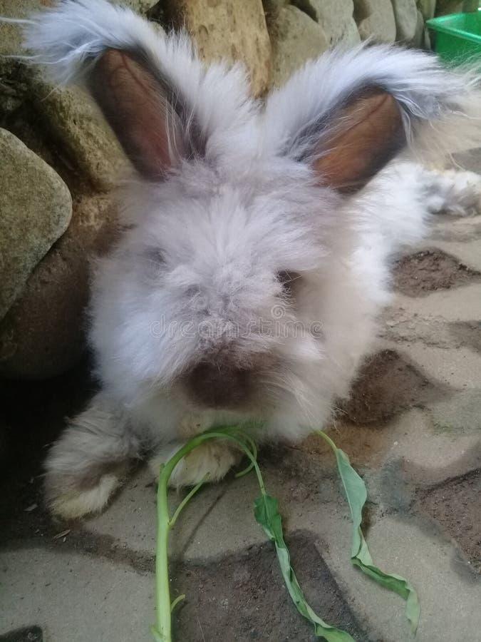 Anggora del conejo fotografía de archivo libre de regalías