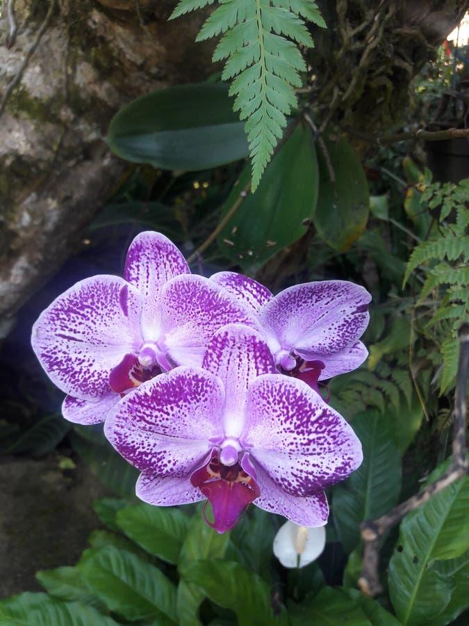 Anggrek de Bunga imagenes de archivo