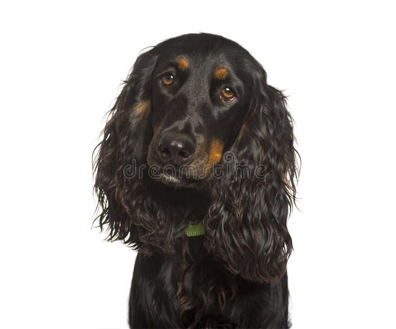 Angielska Cocker Spaniel psia patrzeje kamera przeciw białemu backg fotografia royalty free
