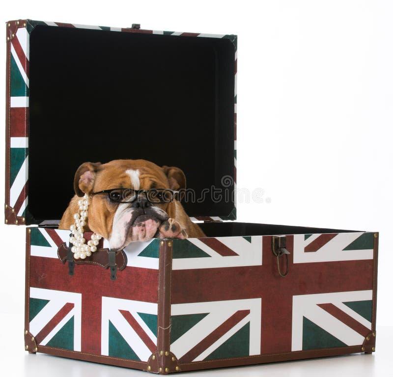Angielski buldog zdjęcia stock