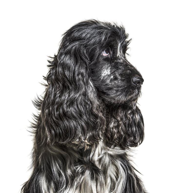 Angielski Cocker Spaniel, 4, 5 lat obrazy stock