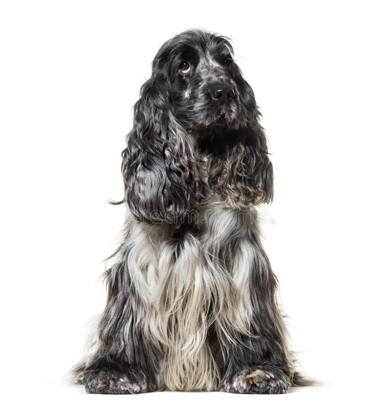 Angielski Cocker Spaniel, 4, 5 lat zdjęcia stock