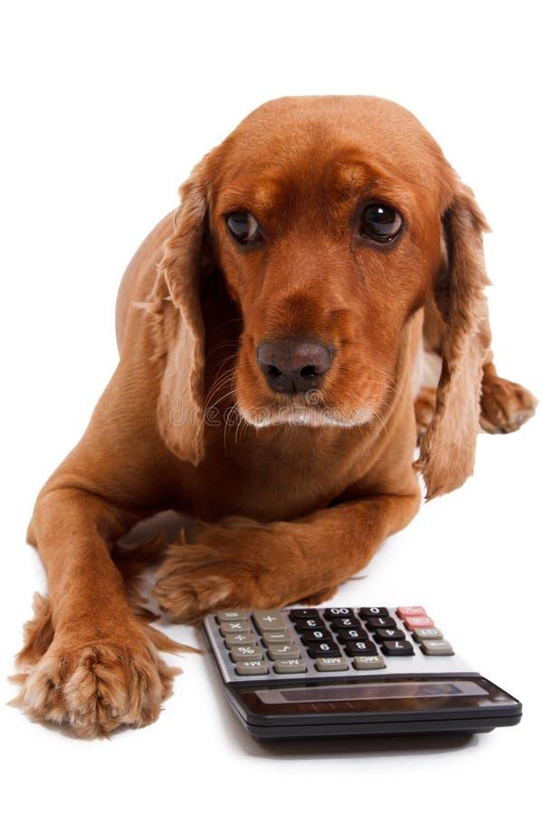 Angielski Cocker Spaniel pies, kalkulator i fotografia stock