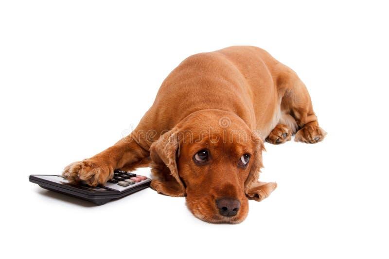 Angielski Cocker Spaniel pies, kalkulator i zdjęcie stock