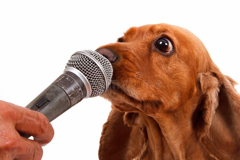 Angielski Cocker Spaniel pies, mikrofon i obrazy stock