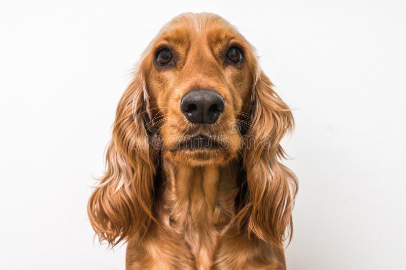 Angielski Cocker spaniel pies na bielu fotografia royalty free